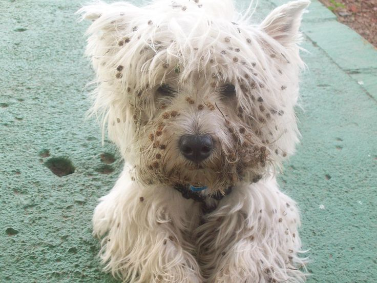 westie pox :-) Just like a westie. If there's something ...