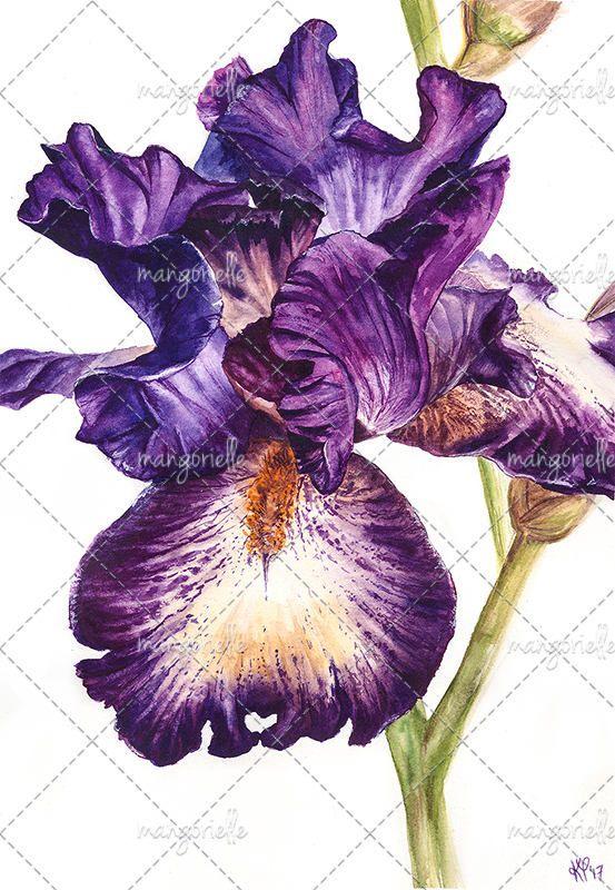 Ирис  Ботаническая иллюстрация