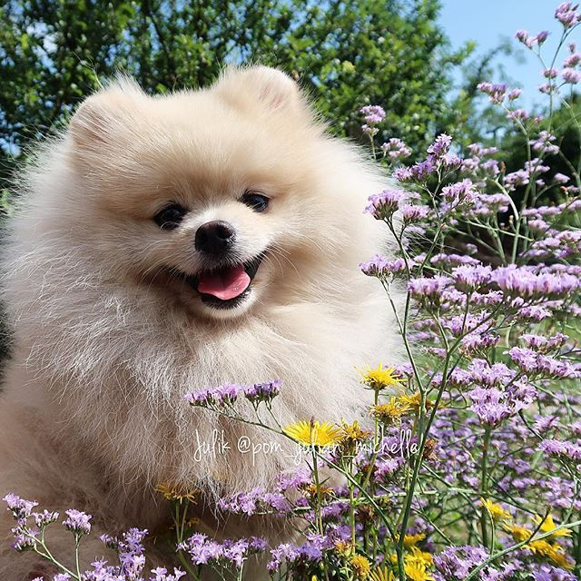Pomeranian... #goodmorning #igworld 😊 I hope your #weekend is so fine as mine…
