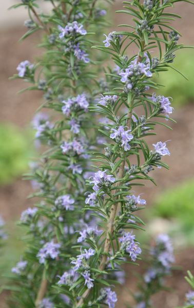 Rosemary.  Rosmarinus officinalis 'Miss Jessopp's Upright'.  Herb, frost hardy, prune in spring.