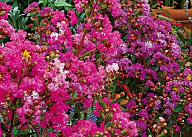 les 25 meilleures id es de la cat gorie lilas des indes sur pinterest arbustes lilas plant de. Black Bedroom Furniture Sets. Home Design Ideas