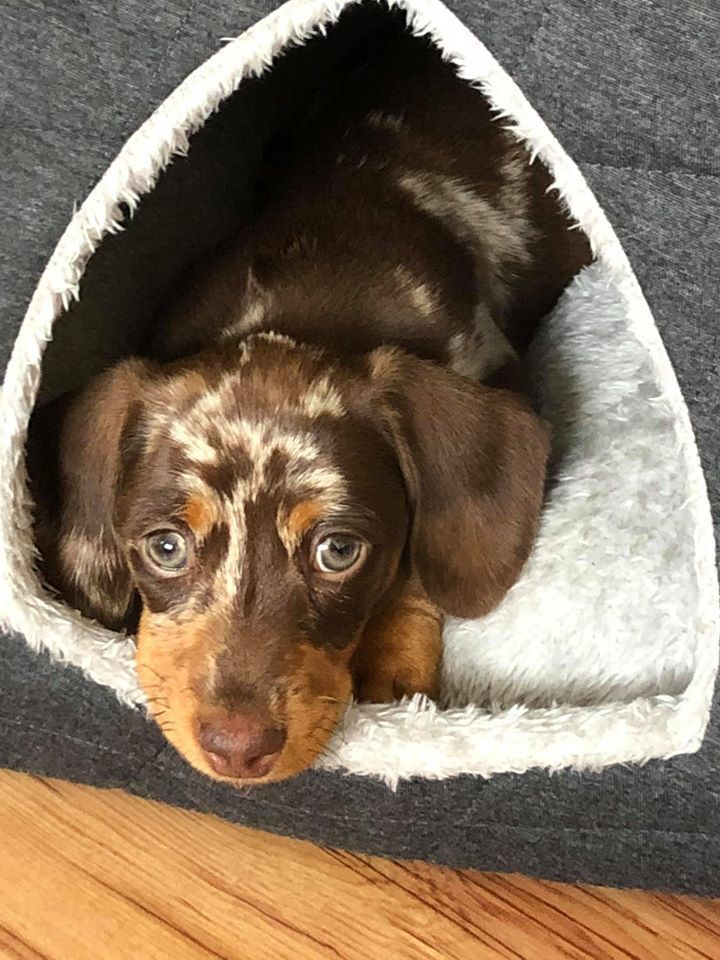 Top Funny Moments Showing That Dachshunds Are The Cutest Dogs If