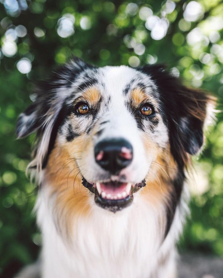 Miley the 1.5yr old Australian Shepherd.  Named after the one and only. by zilkerbark