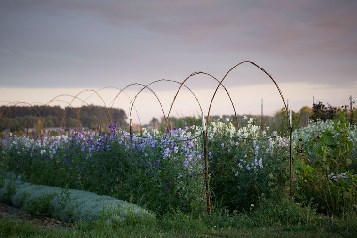 A tunnel of sweet peas, as seen at Floret Flower Farm.
