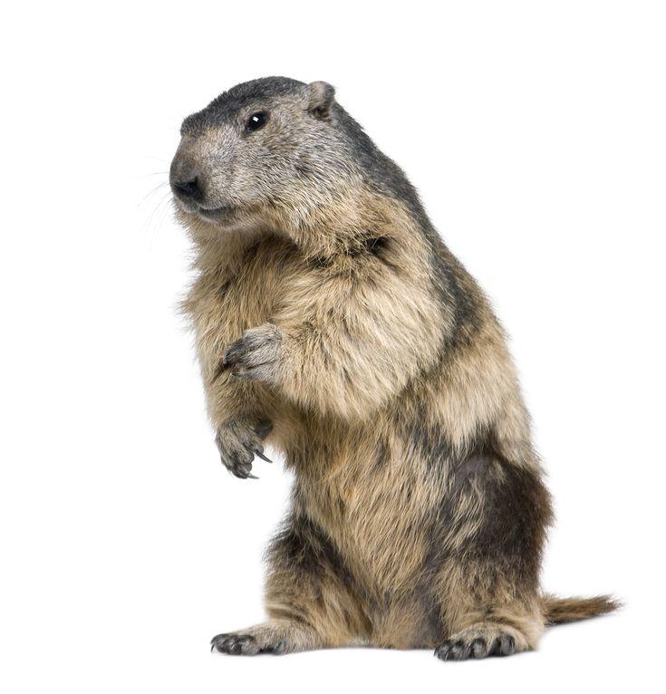 groundhog standing up