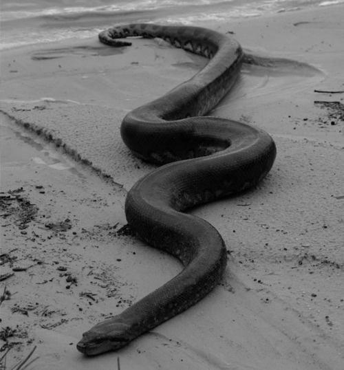 VIXERAMUS // black . snake