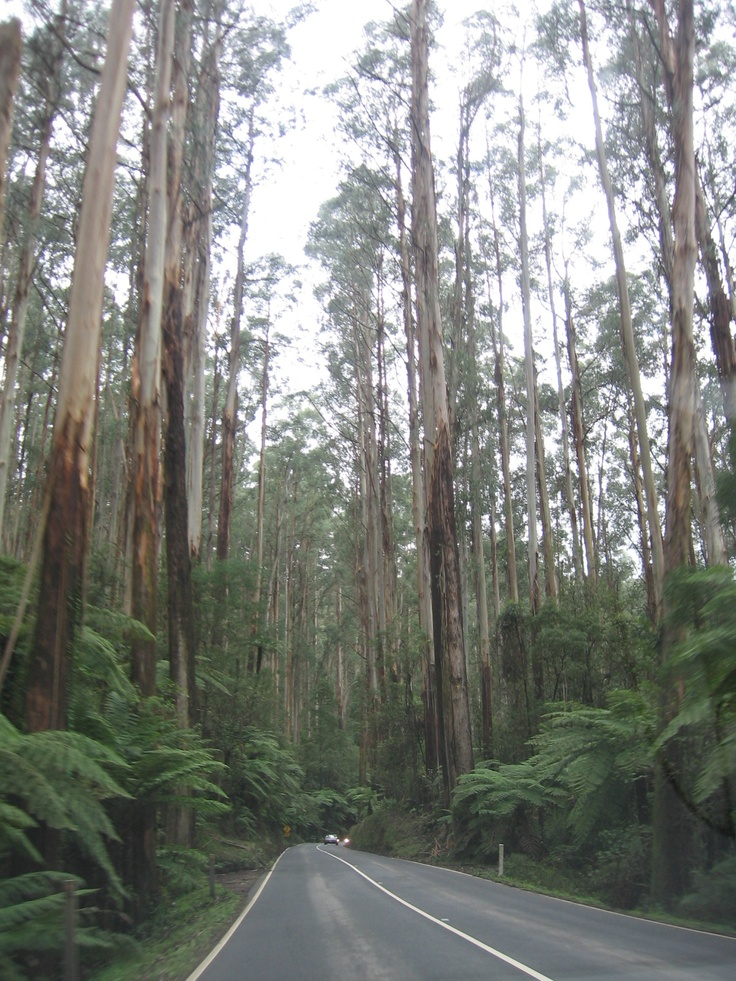 The Black Spur drive near Healsville, Victoria, Australia. Giant Mountain Ash trees line the road with tree ferns beneath them. Gorgeous spot. I took this shot through the car window, as we drove along. (Aug. 2008)