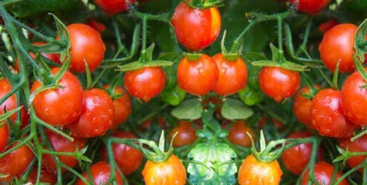25 melhores ideias de cultivar tomates no pinterest cultivo do tomates tomate jardim e - Tomates cherry en maceta ...