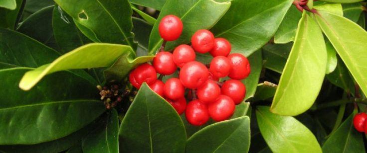 Huile essentielle de gaulthérie (gaultheria procumbens) |