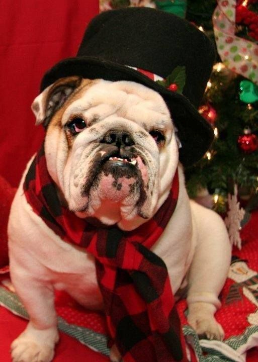 "❤ Mr Dapper ""I turn heads when I walk in a room"" ❤ Posted on Baggy Bulldogs"
