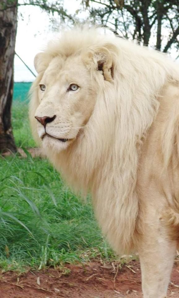 """WHITE LIONS.....a rare color variation caused by a recessive gene that is currently only found in captivy.....It is a color form and not a separate species.....males are 5.6 to 8.3 feet long with 27 to 41 inch tail.....males are 330 to 570 pounds.....only big cat that live in groups called """"prides"""".....can eat up to 140 pounds of meat at a time.....roars can be heard up to 5 miles away"""