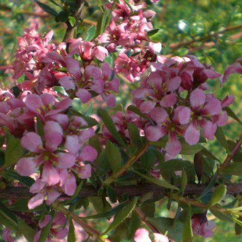 Escallonia langleyensis - arbusti ornamentali sempreverdi online - arbusti online - fino a cm 250 rosa carminio giugno-settembre sole