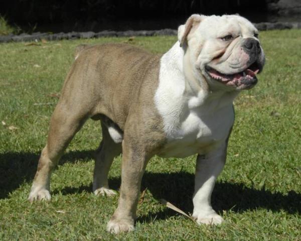 What A Mug S Blue Suede Olde English Bulldogge Oeb Bulldog