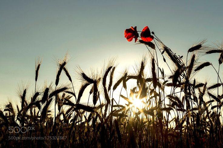In un campo di grano n.2 by fusanifulvio. @go4fotos