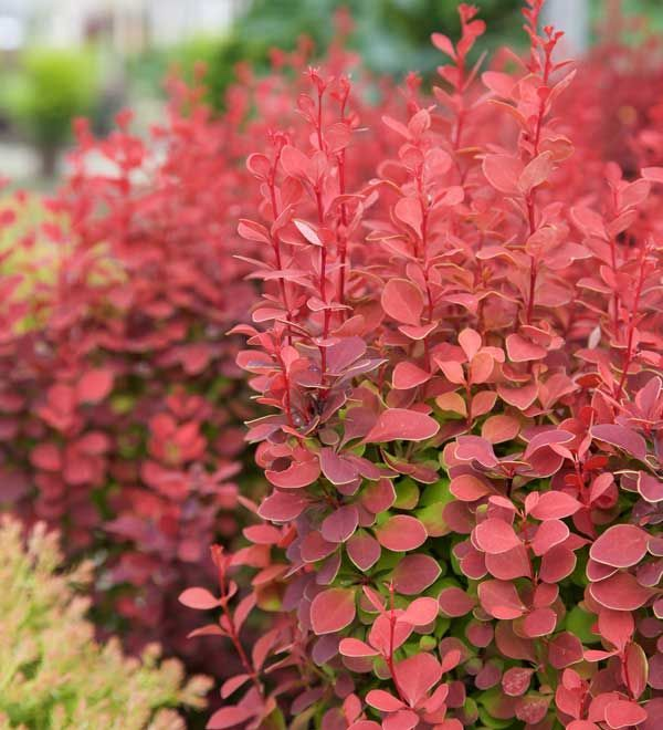 If you're looking for a low maintenance shrub that's deer resistant, rabbit resistant, drought tolerant and has outstanding foliage then look no further than Orange Rocket barberry.