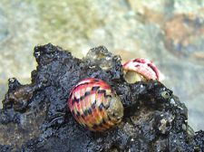 nerite snails in Aquarium & Fish