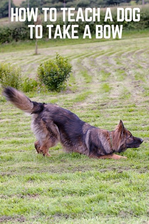 How to teach a dog to take a bow