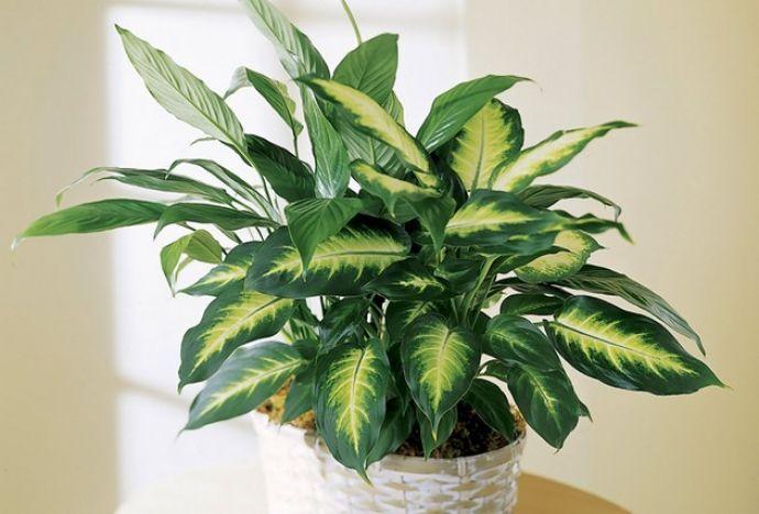 Диффенбахия - это популярное комнатное растение которое отличается быстрым ростом и ярко-зелеными листьями