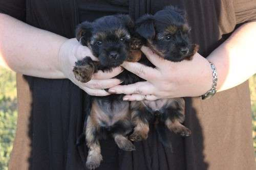 A litter of four Pure Bred Australian Silky Terriers, very friendly pups and parents friendly. The girls are in a loving home and both parents Midge & Molly are friendly pets.  Pups are ready for new homes at end of april. $1,200 Firm - http://www.pups4sale.com.au/dog-breed/391/Australian-Silky-Terrier.html