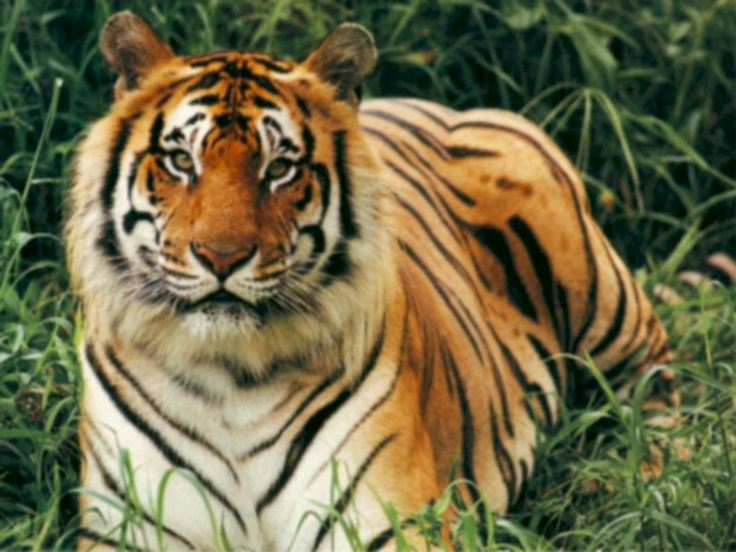 tigers | 10 Ways to Save Tigers | Good Nature