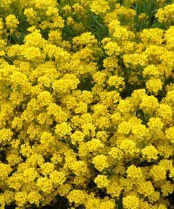 Alyssum saxatile 'Compactum Goldkugel' - Felsen-Steinkraut