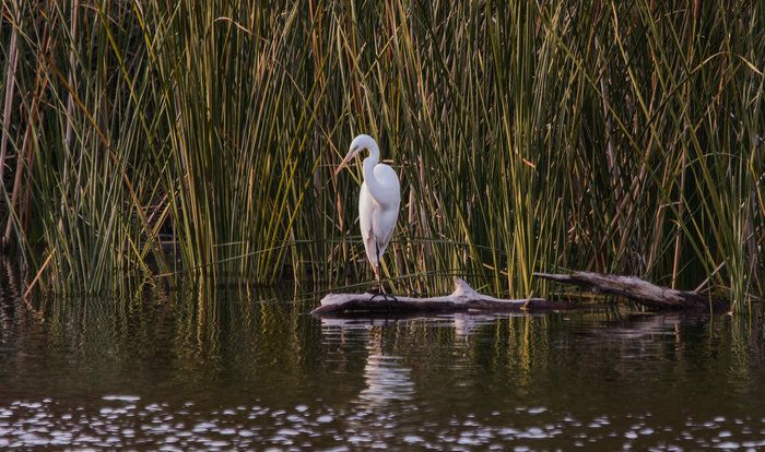 Egret Looking for Prey by Wayne Wong on Capture Kern County // Frontal view of Hart Park egret gracefully balanced to strike.