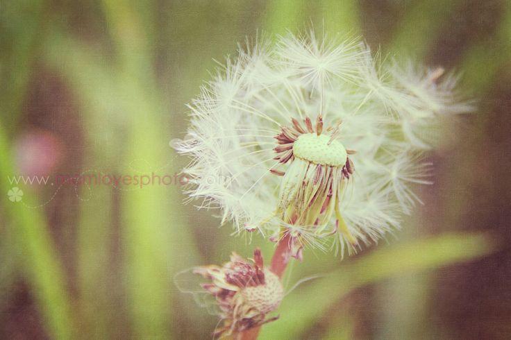 Dandelion   IMG_7397