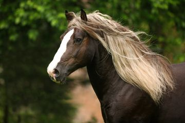 Pferde kaltblüter