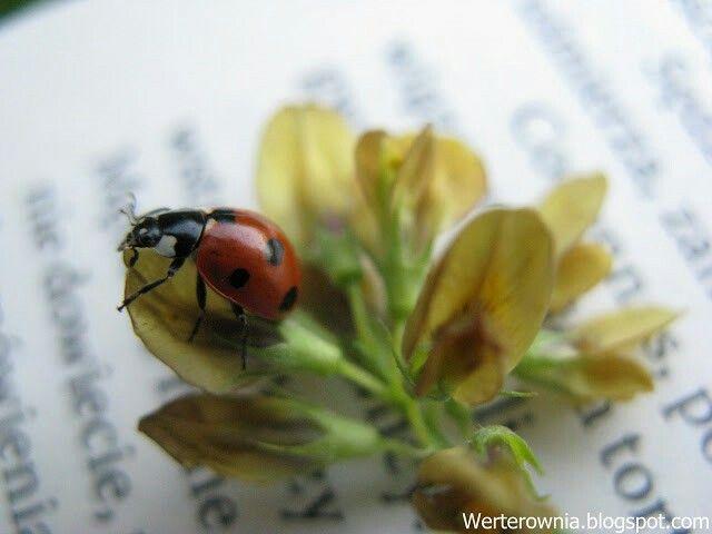 #werterownia #biedronka #ladybug #kropki #photography