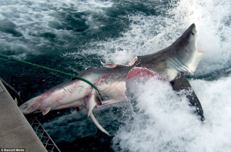 In October 2009 this Great White shark was caught in Australia. Before it could be brought in, another Great White, estimated to be twice its size, took massive bites out of it, nearly cutting it in half. Due to the amazing constitution of these creatures, the shark in this picture WAS STILL ALIVE when this photo was taken, and did not die until later, when it was brought aboard the boat. The larger Great White that bit this shark was never seen by the fishing boat, but surfers in the area…