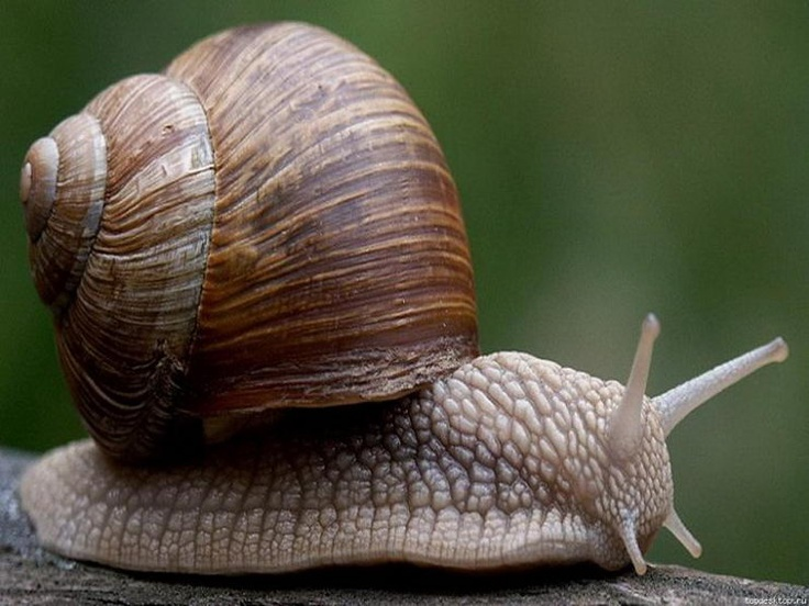 This fellow snail looks similar to the snail I used to have.