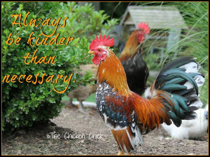 Quotes About Roosters: 33 Best Chicken Quotes Images On Pinterest