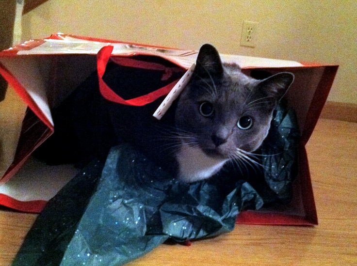 Meet Heather's cat Gus. He loves presents and wrapping paper more than catnip.