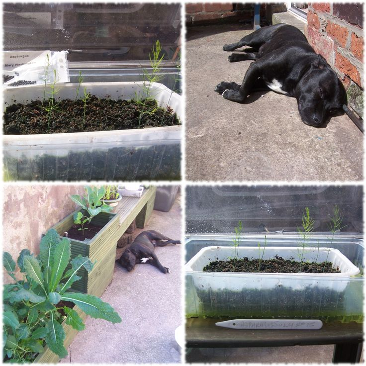 Planting Asparagus Seeds : http://www.guerrillapodcasts.com/planting-asparagus-seeds/