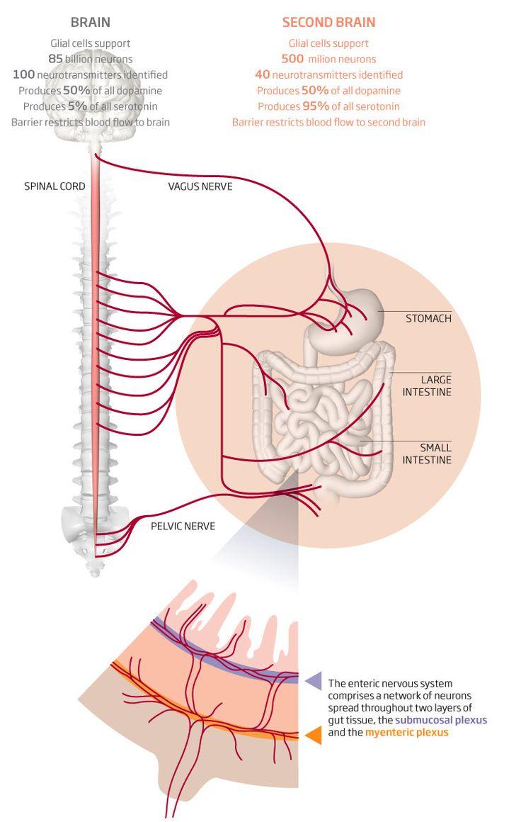 Enteric nervous system.