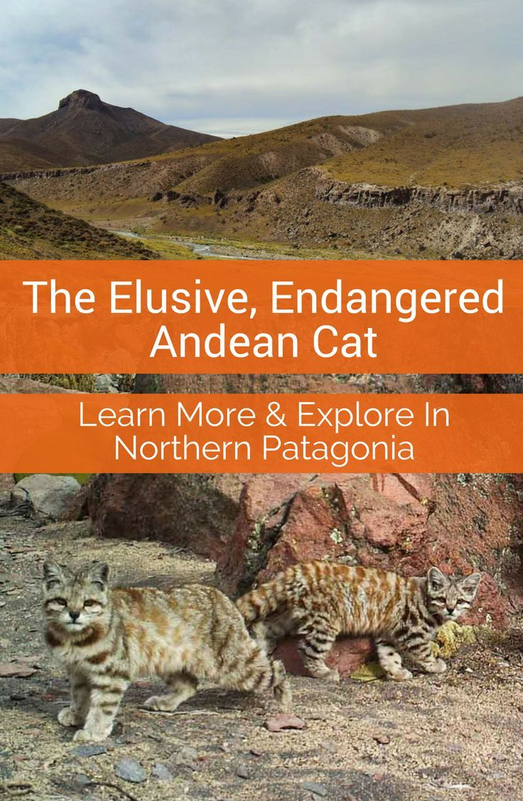 In the stark landscape of the Andes lives the little known, endangered Andean Cat. Learn more about the cat and it's remarkable in the Northern Patagonia and Mendoza regions of Argentina