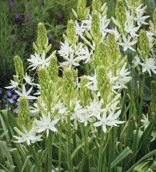 Camassia leichtlinii Alba is a statuesque late-spring flowering bulb with spires of creamy-white flowers which last for ages. One of the most tolerant and long-lived bulbs you can grow.