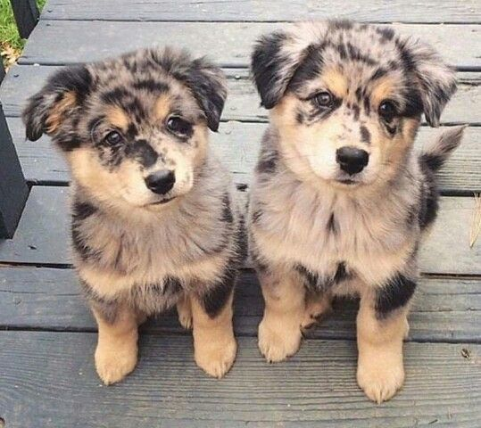 Miniature Australian Shepherd Puppies
