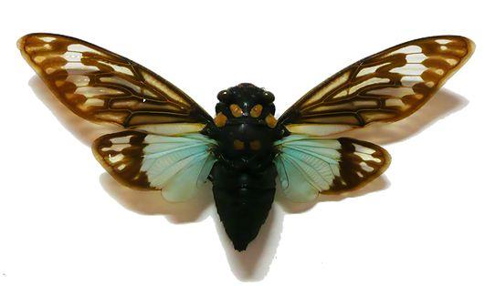 Brudante Cicade Tosana Splendida