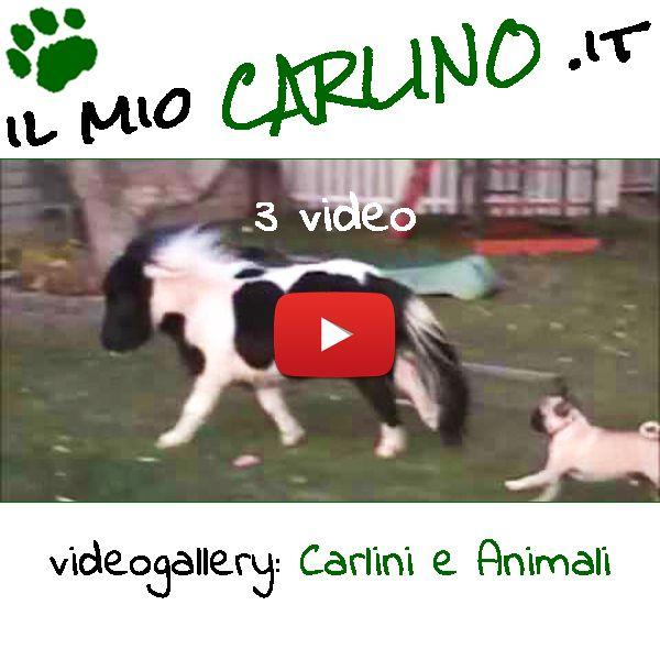 3 video: Carlino & Pony, Carlino & Oca, Carlino & Pappagallo