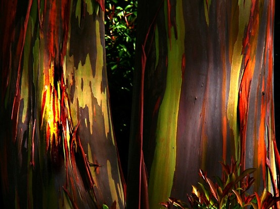 Eucalyptus deglupta: The Rainbow Eucalyptus Tree