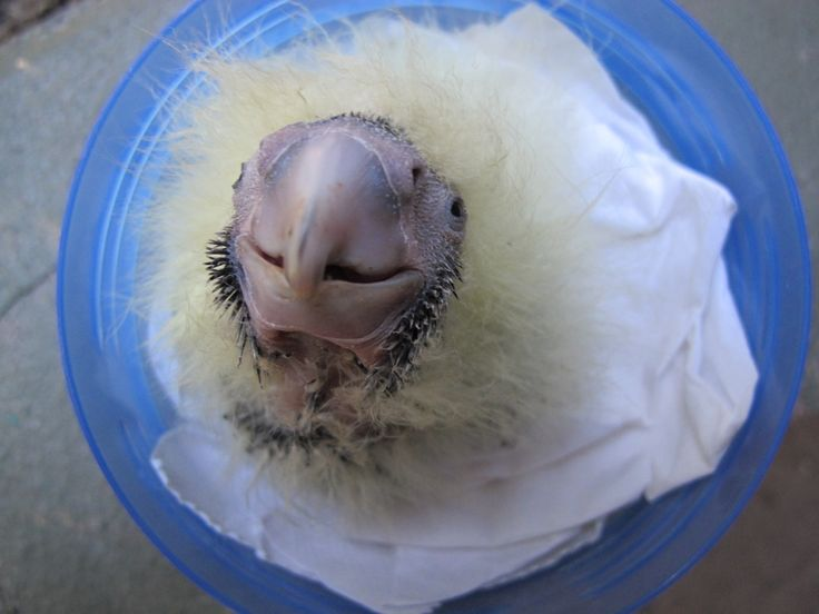 Today's #throwbackthursday star is a Glossy Black-Cockatoo chick, which hatched at Taronga  in 2011. They may look like a ball of yellow fluff when they hatch, but Glossy Black-Cockatoos are one of the more beautiful and threatened species of cockatoo in Australia.