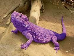 Gallery for - purple lizard