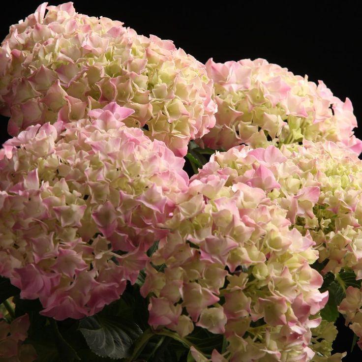 Certi Hydrangea Roza New, licht roze hortensia, tuin, tuinplanten, Certi #Bloemen, #Planten, #webshop, #online bestellen, #rozen, #kamerplanten, #tuinplanten, #bloeiende planten, #snijbloemen, #boeketten, #verzorgingsproducten, #orchideeën