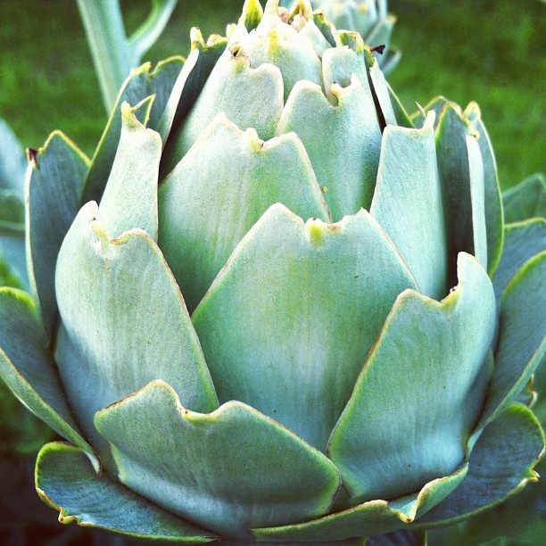 "@Emma Bond's photo: ""Artichoke from allotment"""