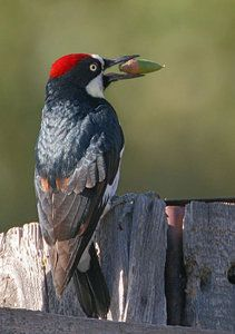Acorn Woodpecker. This clown-faced woodpecker is a common bird of western oak forests. It lives in extended family groups. And all members of the group spend hours and hours storing thousands of acorns in carefully tended holes in trees and telephone poles. A medium-sized woodpecker with a black back and chest. The head is black, white, and red.