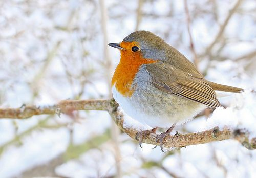 This is an English Robin.  The cutest, chubbiest little birds!