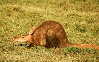 Rare sighting of an aardvark midday at River Bend Lodge, Addo Elephant National Park, South Africa.