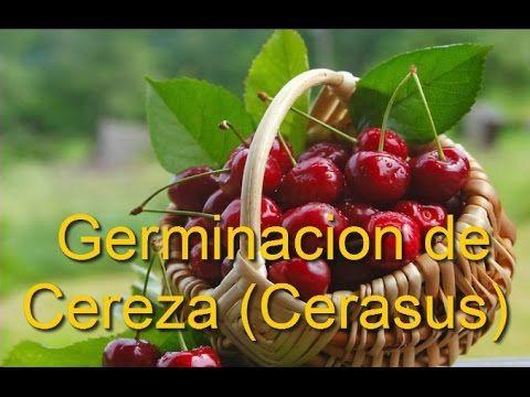 Germinacion y preparación de semillas de Cereza (Cerasus) - YouTube