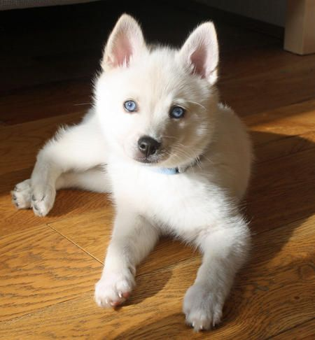 Moshi the Alaskan Klee Kai puppy.  Little beauty!
